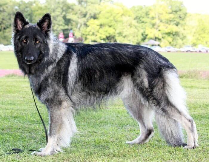 Shiloh Shepherd Dog Breed Information