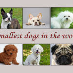Top 10 smallest dogs in the world 2017