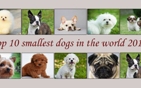 smallest dogs breed