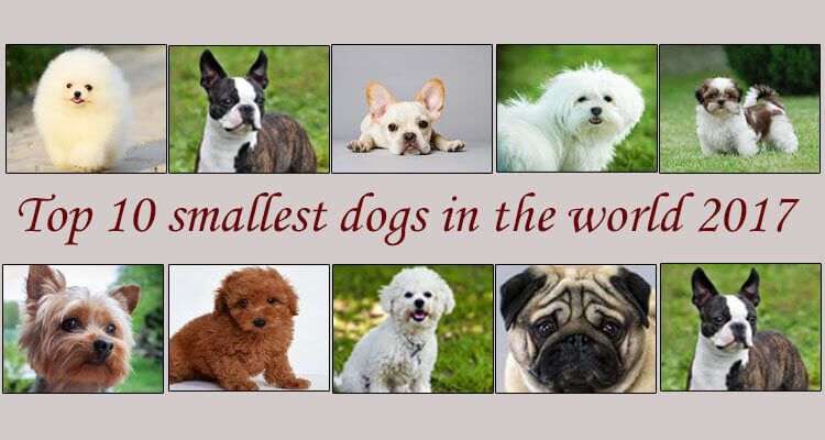 Top 10 smallest dogs in the world 2017 by for What are the best dogs in the world