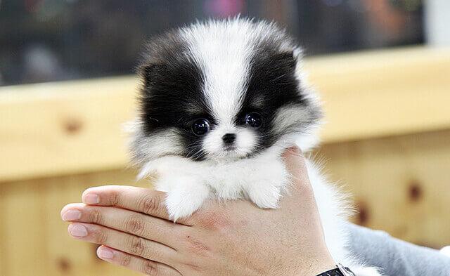 Pomeranian Characteristics Pomeranian characteris...