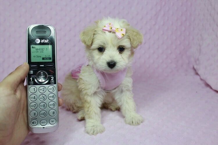 Teacup Maltipoo puppy