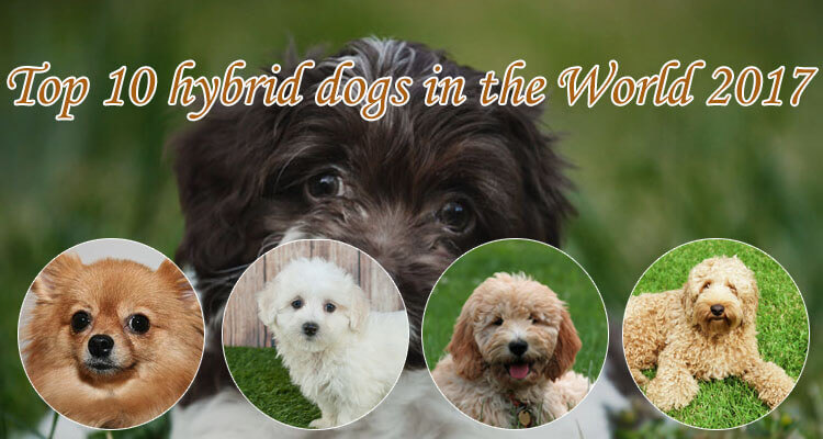 top 10 hybrid dogs in the world 2017