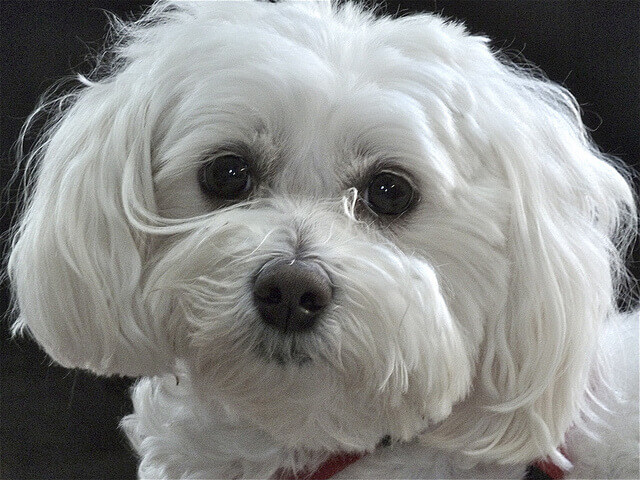 Maltipoo Characteristics Appearance And Pictures