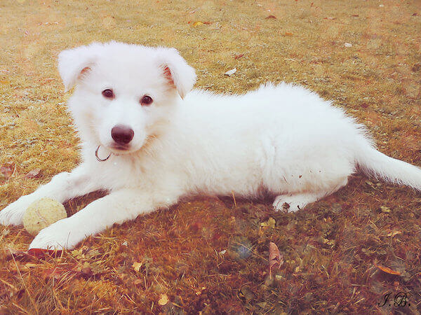 white shepherd puppy photo