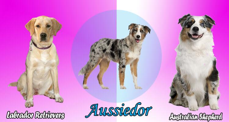 Australian shepherd lab mix characteristics, appearance ...