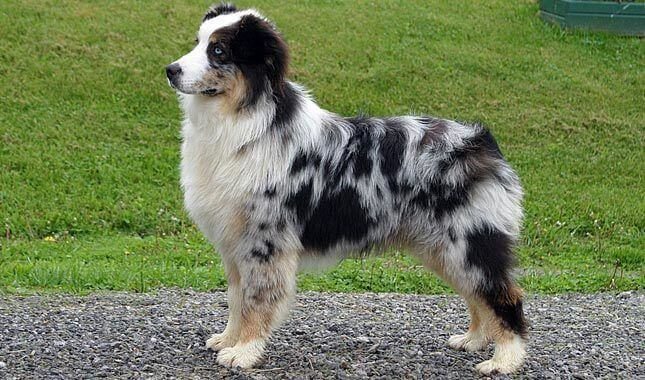 Aussiedors dog breed photo