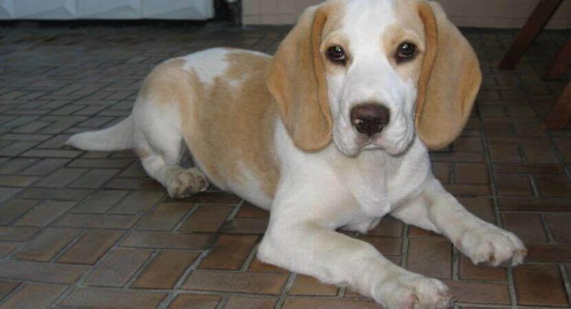 Beagle Lab Mix Beagador Characteristics Appearance And