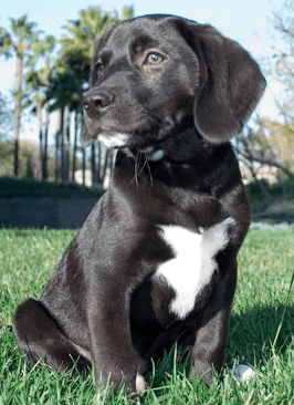 Beagle Lab Mix Beagador