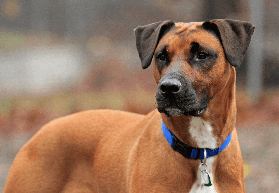 Boxador Boxer Lab Mix Characteristics Appearance And Pictures