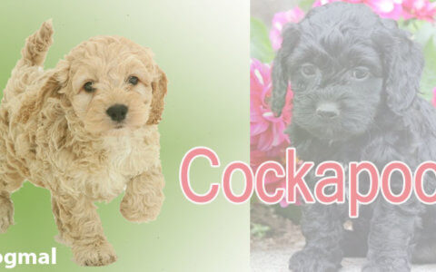 Cockapoo-dog-breed