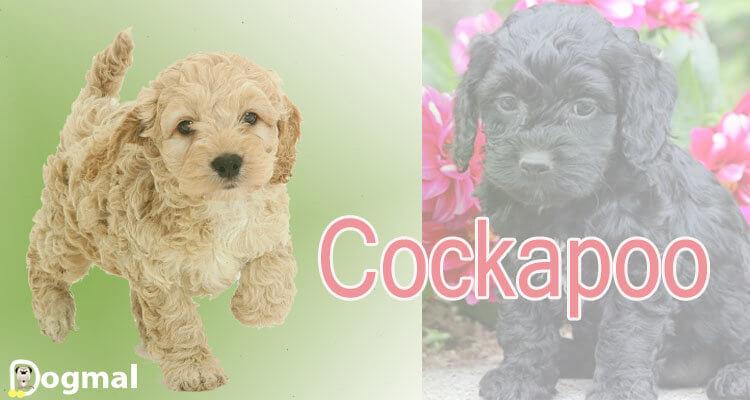 Cockapoo-dog-breed