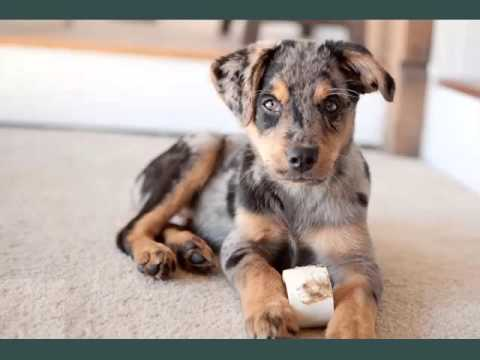 australian shepherd lab mix adoption
