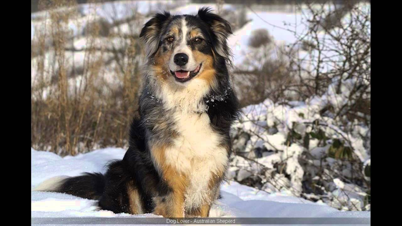 Australian Shepherd Lab Mix Pictures