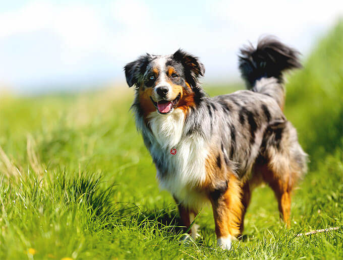 australian shepherd lab mix characteristics  appearance and pictures