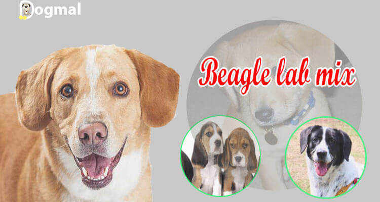 Beagle Lab Mix AKA Lab Beagle Mix  All You Need To