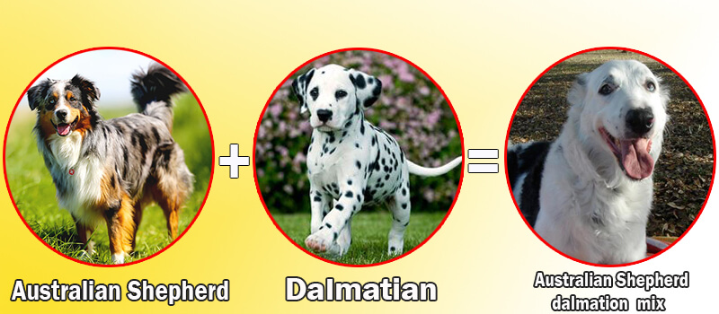 Australian Shepherd dalmation mix