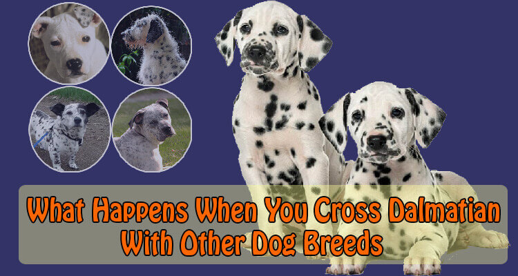 what happens when you cross dalmatian with other dog breeds