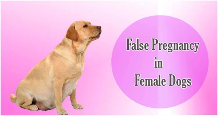 False pregnancy female dogs