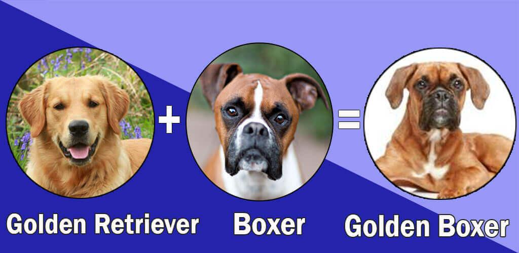 Most Popular Boxer Dog Cross Breeds Designer Breeds