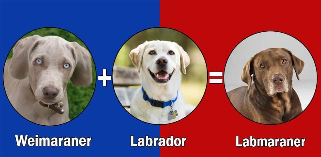 weimaraner labrador