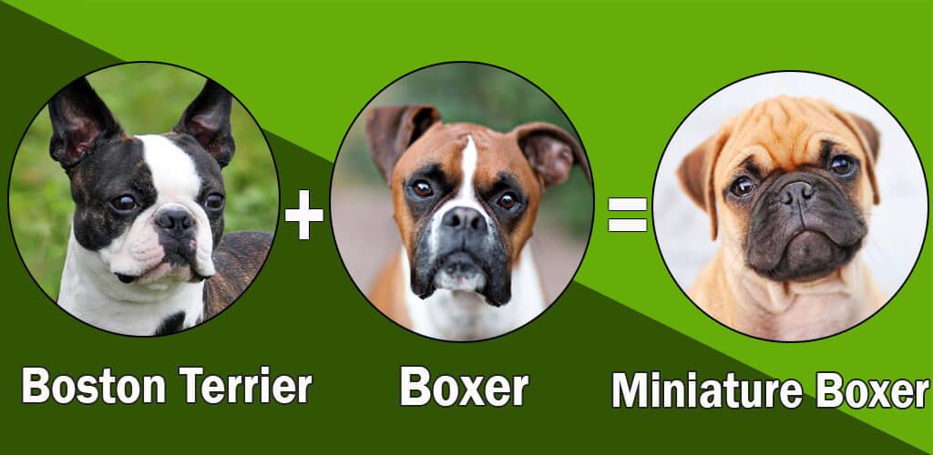 Most Popular Boxer dog cross breeds (designer breeds)