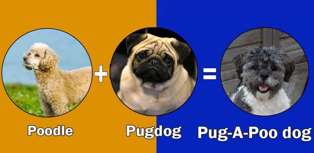 Pug-A-Poo dog