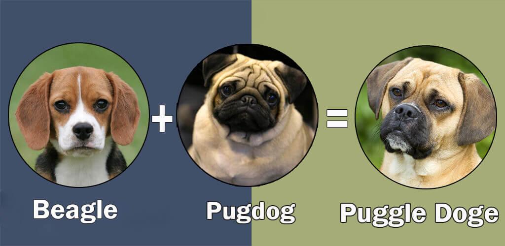 Top 10 Cross Breeds Designer Of Pug Dog By Dogmal Com