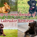 Top 10 cross breeds of the Labrador Retriever
