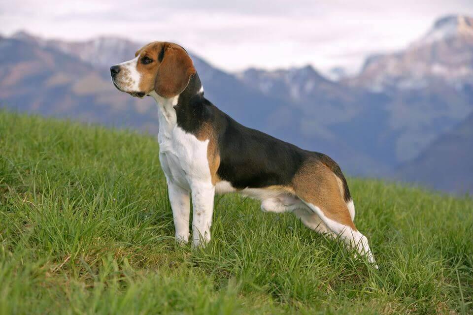 Download Smart Beagle Adorable Dog - beagle_benefits  2018_422758  .jpg