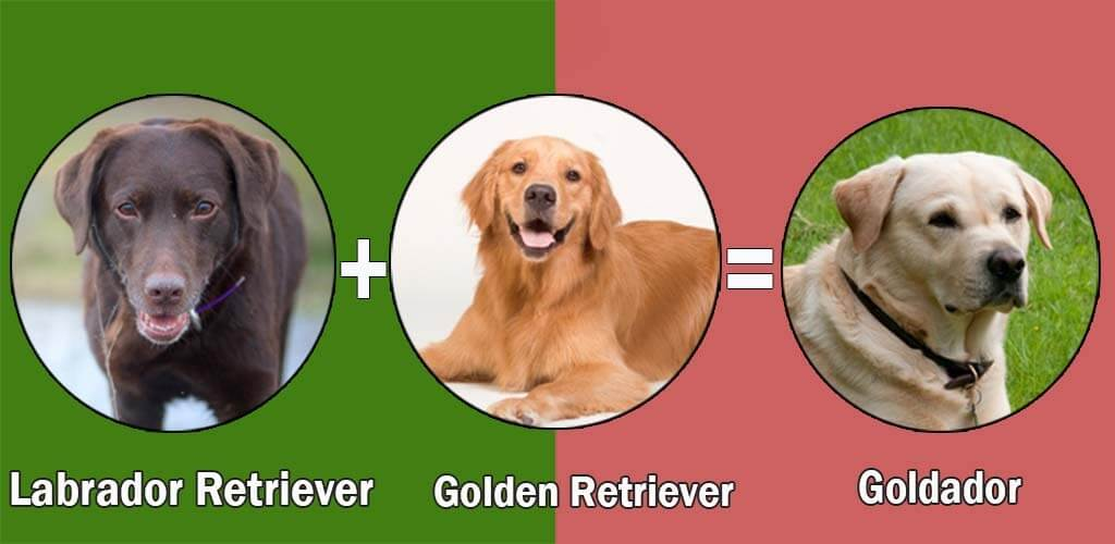 Top 10 Labrador Retriever Cross Breeds Disigner Breed
