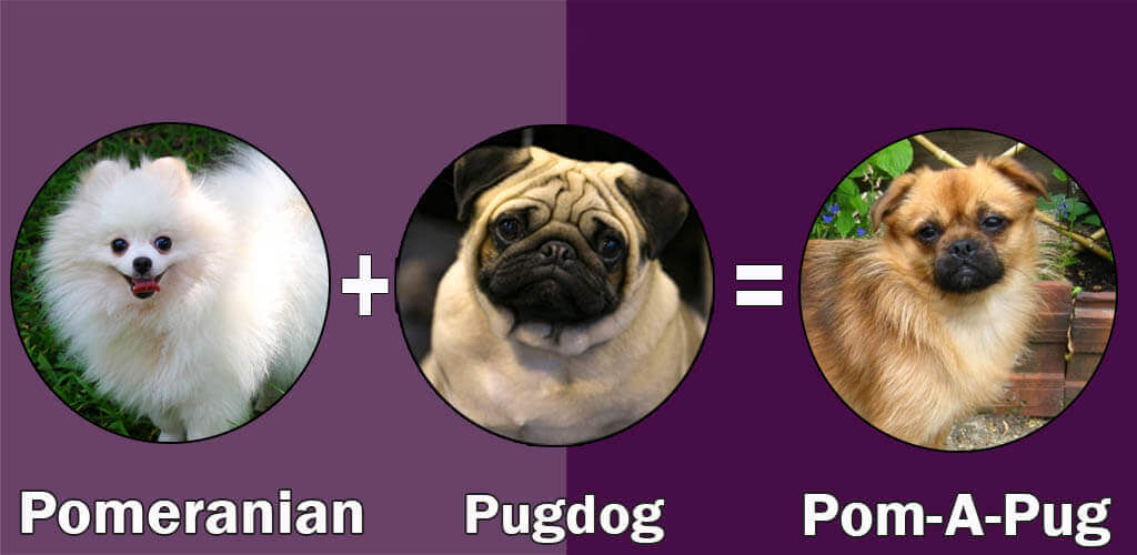 Top 10 Cross Breeds Designer Of Pug Dog By Dogmalcom