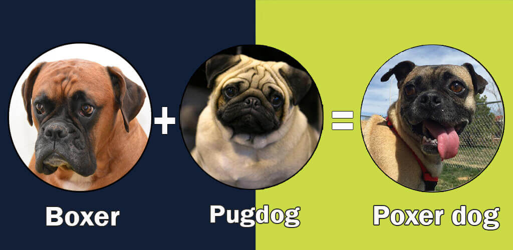 Top 10 cross breeds (designer) of pug dog by dogmal.com