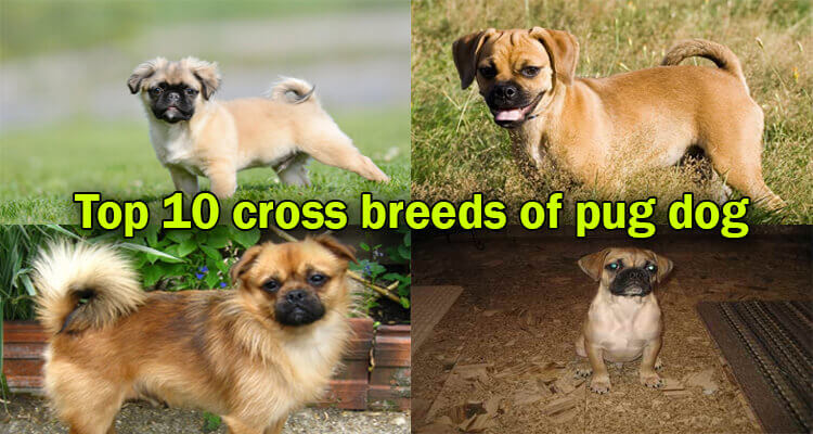 Cute & Healthy Pug Mixes