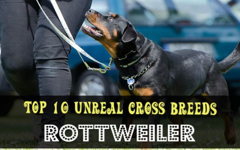 rottweiler cross breeds