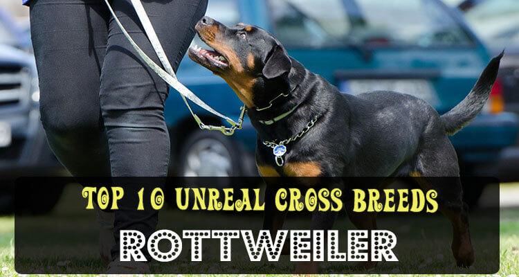 Top 10 Unreal Rottweiler Cross Breeds Mix Breeds
