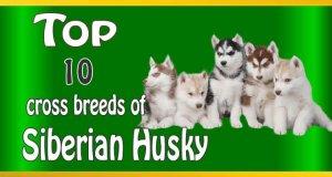 Siberian Husky cross breeds