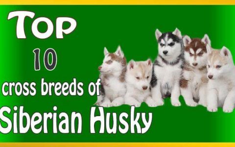 Siberian Husky cross breeds