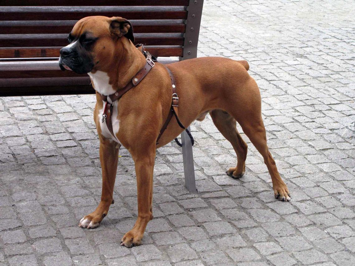 Best Small Medium Guard Dogs