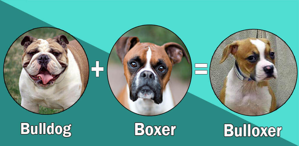Most Popular Boxer Dog Cross Breeds Designer Breeds