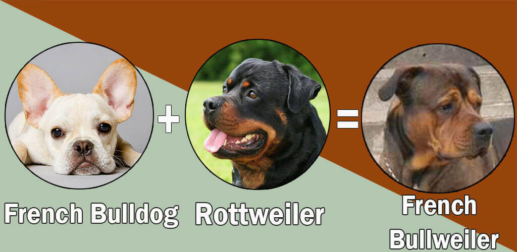 Top 10 Unreal Rottweiler cross breeds (Mix breeds)