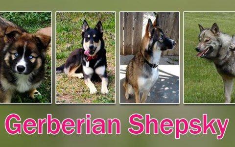 Gerberian Shepsky