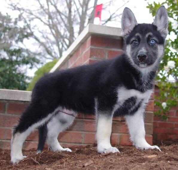 Gerberian Shepsky Puppy Photos