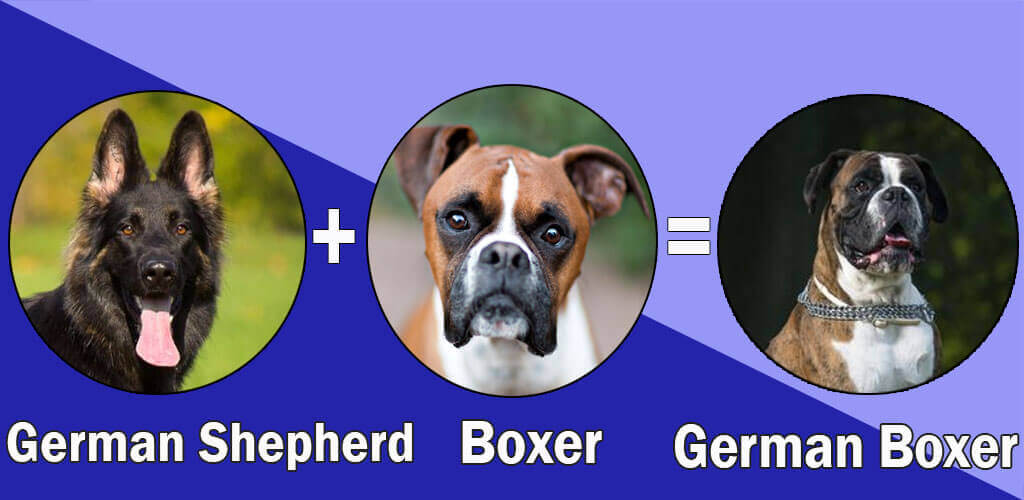 German Boxer