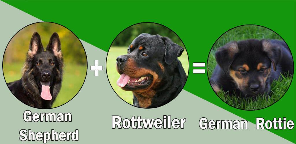 German Rottie