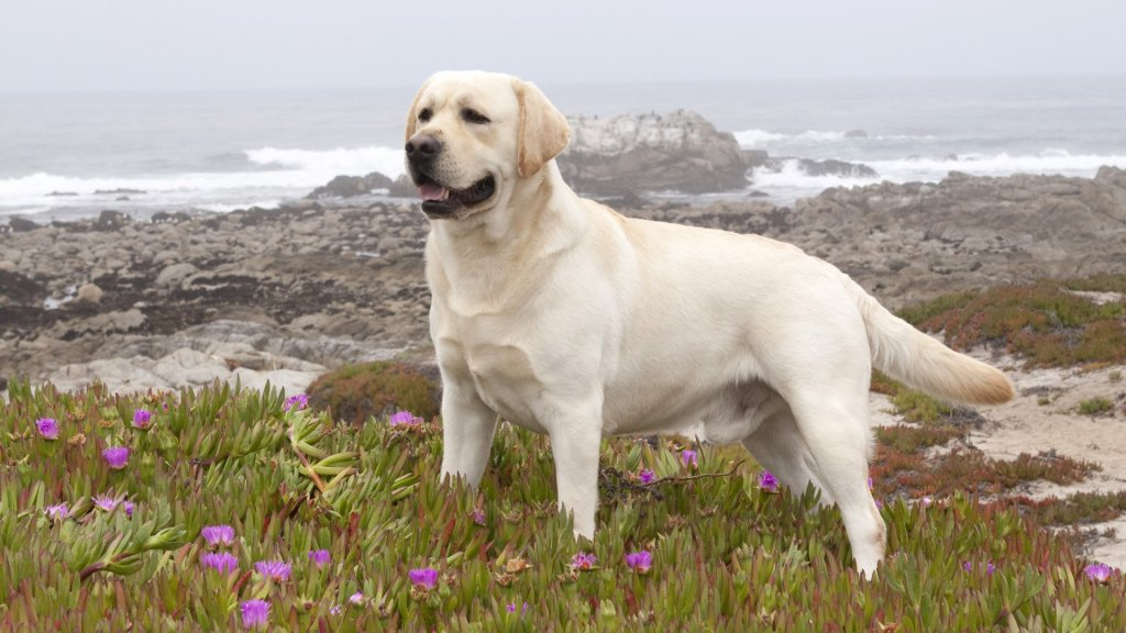 Labrador Retriever hd image