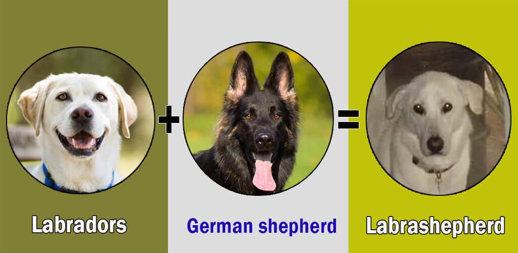Labrashepherd