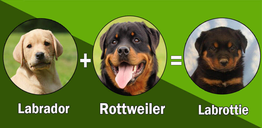 Rottweiler Lab Mix Labrottie All Information You Want To Know