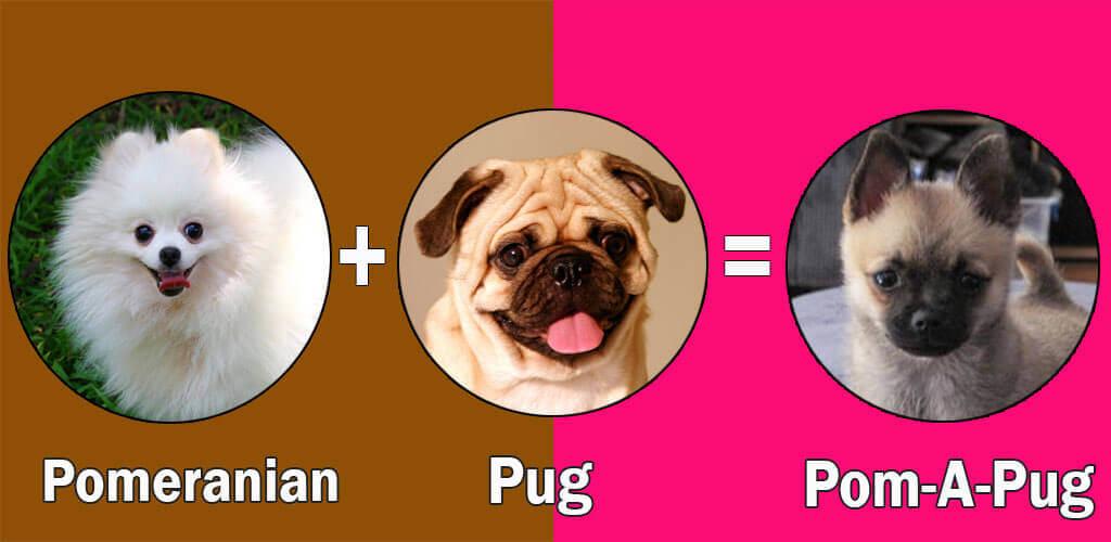 Pom-A-Pug