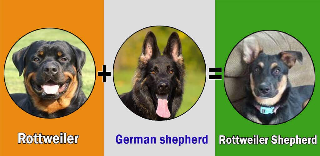 Top 12 German Shepherd Cross Breeds Dogmalcom